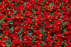 Red Primula flowers Stock Images