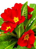 Red primula flowers and plants Royalty Free Stock Images