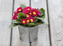 Red primula flowers in silver bucket on wooden table Stock Photography