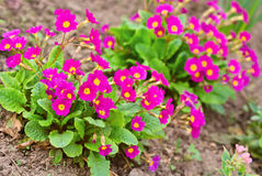 Red primula flowers at spring Royalty Free Stock Image