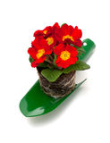 Red primula in garden shovel Stock Photo