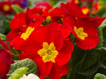 Red Primula Royalty Free Stock Photo