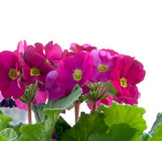 Red primula with green leaves in the pot Royalty Free Stock Images