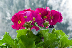 Red primula with green leaves in the pot Royalty Free Stock Photos