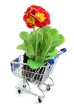Red primula (primrose) in a shopping cart. isolated Royalty Free Stock Photos