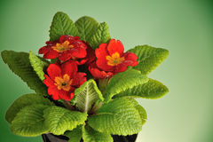 Red primula Royalty Free Stock Images