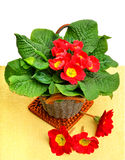 Red primula spring flowers in bucket isolated on white backgroun Royalty Free Stock Images