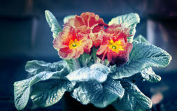 Red Primula Vulgaris Royalty Free Stock Photography