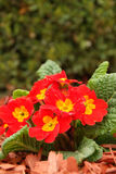 Red primulas Royalty Free Stock Image