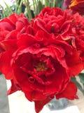 Red princess tulips Stock Image