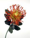 Red Protea. Protea isolated over white background Royalty Free Stock Photos