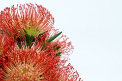Red protea. Close-up of of a nutan (leucospermum stock images