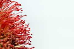 Red protea Royalty Free Stock Photography