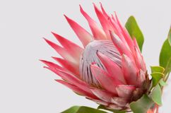 Red protea flower for background. Red protea flower on black background with copy space for text royalty free stock image