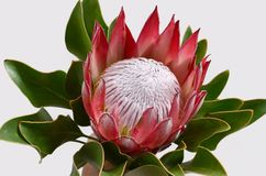 Red protea flower for background. Red protea flower on black background with copy space for text royalty free stock images