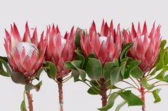 Red protea flower for background. Red protea flower on black background with copy space for text royalty free stock photos