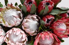 Red protea flower for background. Red protea flower on black background with copy space for text royalty free stock photography
