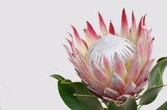 Red protea flower for background royalty free stock photography