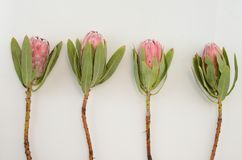 Red protea flower bunch on a white background with clipping path royalty free stock image