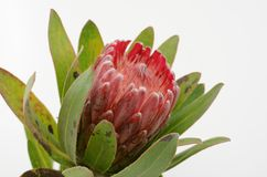Red protea flower bunch on a white isolated background royalty free stock photography