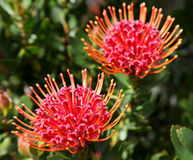 Red protea flowers Royalty Free Stock Image