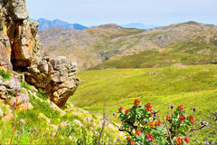 Red protea flowers and mountain landscape Stock Image