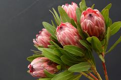 Red Protea plant on black background. With copy space for text royalty free stock image