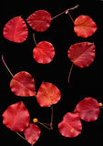 Red Prunus leaves in  autumn Royalty Free Stock Photos