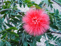 Red Puffball Flower Stock Photography