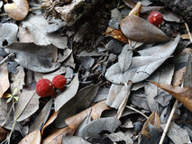 Red Puffball Mushrooms Growing in Leaf Mulch stock photography