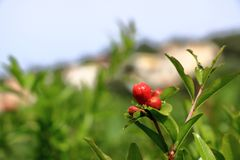 Red Punica granatum flowers on tree, pomegranate blossom in Crete in Greece stock image
