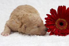 Red Pup. A little puppy sleeping close to a flower Royalty Free Stock Photo