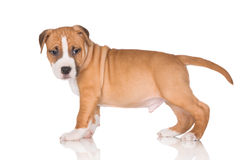 Red puppy Royalty Free Stock Image