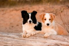 Red puppy Border collie and black and white dog at the beach on tree. sunset royalty free stock photo