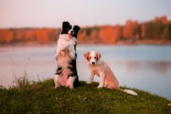 Red puppy Border collie and black and white dog on grass. sunset. forest and lake on background stock images