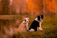 Red puppy Border collie and black and white dog on grass. sunset. forest and lake on background stock photo