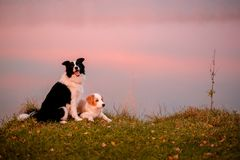 Red puppy Border collie and black and white dog on grass. sunset. lake on background stock photo