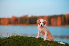 Red puppy Border collie dog on grass. sunset. forest and lake on background stock images