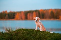 Red puppy Border collie dog on grass. sunset. forest and lake on background royalty free stock photo