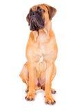 Red puppy bullmastiff Stock Photos