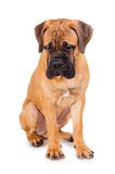 Red puppy bullmastiff. Sitting on a white background, isolated stock photo