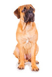 Red puppy bullmastiff Royalty Free Stock Photo