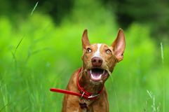Red puppy cirneco. Playing with a blade of grass Royalty Free Stock Photography