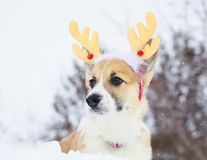 Funny little red puppy of a corgi dog sits in a winter park in the snow dressed in soft Christmas reindeer. Red puppy of a corgi dog sits in a winter park in the stock images