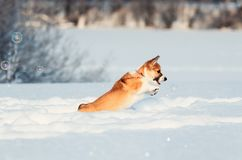 Red puppy Corgi funny catches shimmering soap beautiful bubbles in the winter Sunny Park deftly jumping in white snowdrifts stock photography