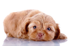 The red puppy of a decorative doggie lies on a white background. Royalty Free Stock Photo