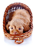 Red puppy of a decorative doggie in a wattled basket. Royalty Free Stock Image