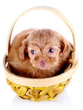 Red puppy of a decorative doggie in a yellow basket. Stock Photo
