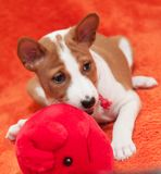 Red puppy dog with plush toy mouse. Funny red puppy dog is playing with plush toy mouse Royalty Free Stock Image