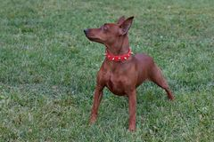 Red puppy of miniature pinscher in a beautifull collar for dogs. Pet animals royalty free stock photos
